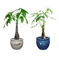 Money Tree / Pachira Plant in Ceramic Pot