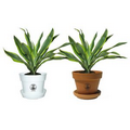 Tropical Plant / Dracaena Lemon-Lime in Pot