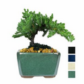 "Mini Japanese Juniper Bonsai Tree in 4"" Rectangle Ceramic Pot"