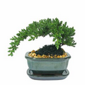 "Small Japanese Juniper Bonsai Tree in 6"" Ceramic"